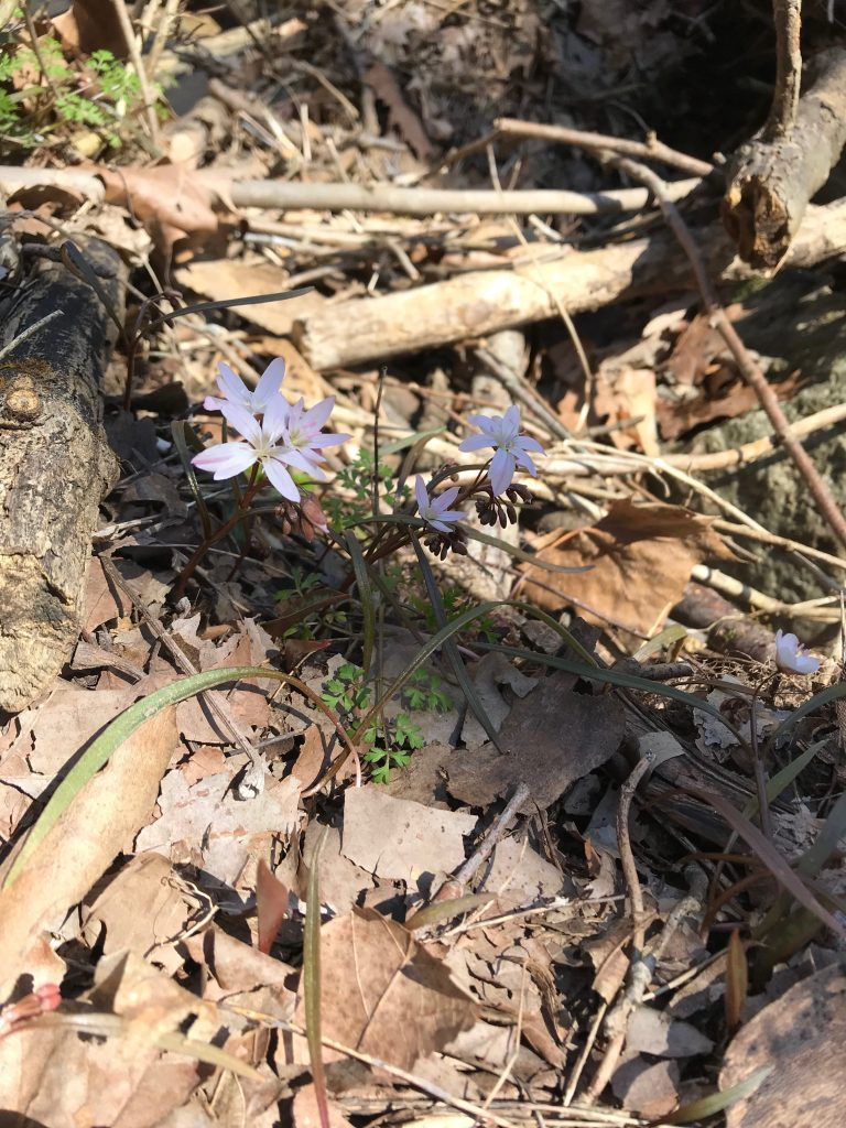 Spring Beauties Just Beginning to Bloom at Spring Mill - March 23, 2019